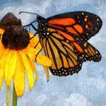 Amajeto Butterflies