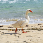 Goose On The Beach Puzzle OceanDesJeux