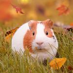 Hamster En Automne Puzzle OceanDesJeux