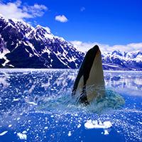 Killer Whale Jigsaw Puzzle OceanDesJeux