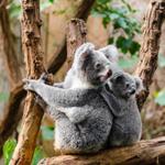 Koala Puzzle OceanDesJeux