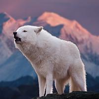 Loup Arctique Puzzle OceanDesJeux