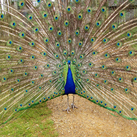 Peacock Swap Puzzle OceanDesJeux