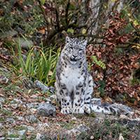 Snow Leopard Puzzle OceanDesJeux