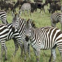 Zebra Rescue WowEscape